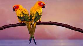 Two Lovely Yellow Birds Sitting On A Branch